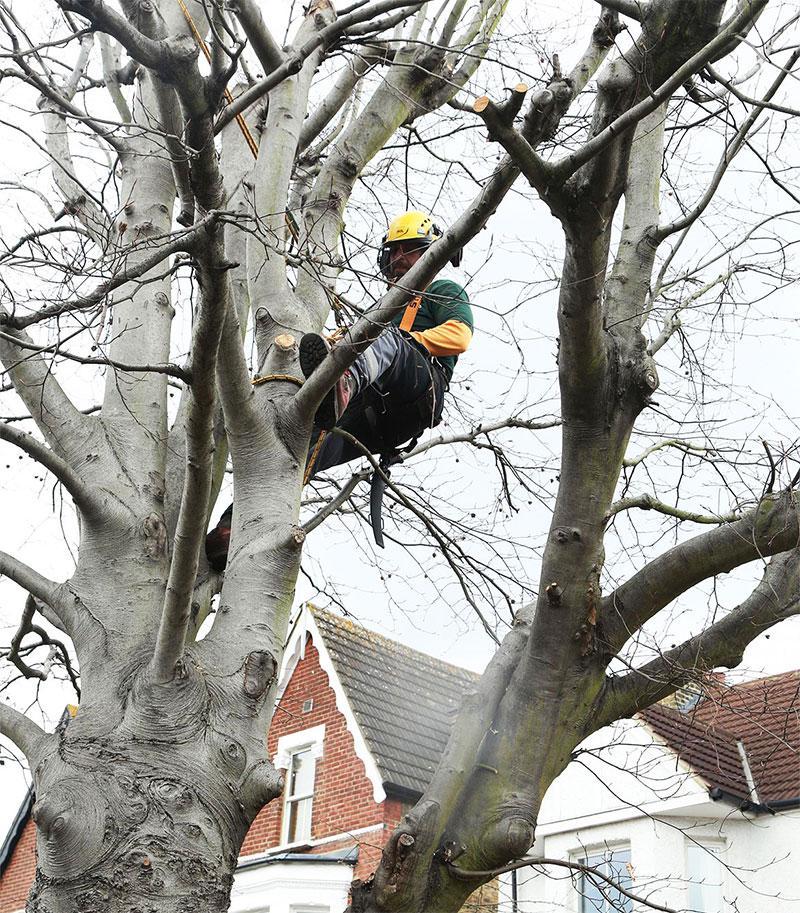 Expert climbs a huge tree